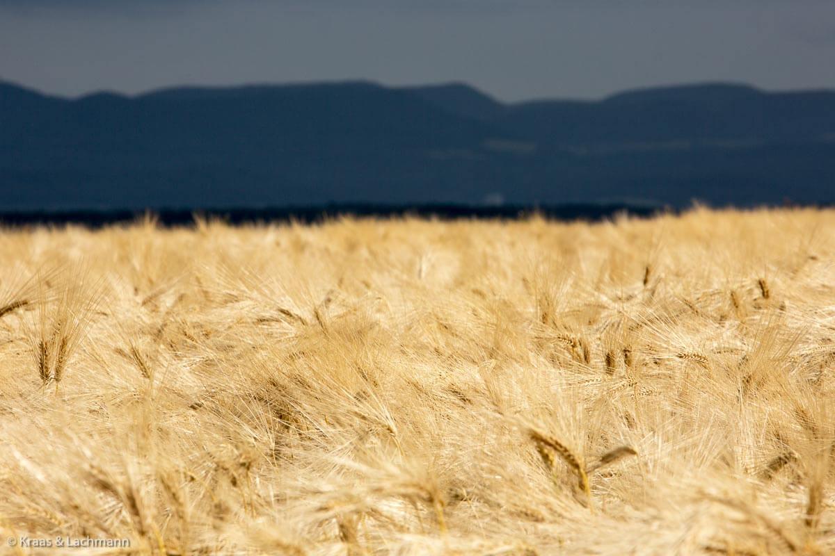 Das ist Weizenblond, ohne Grünstich.
