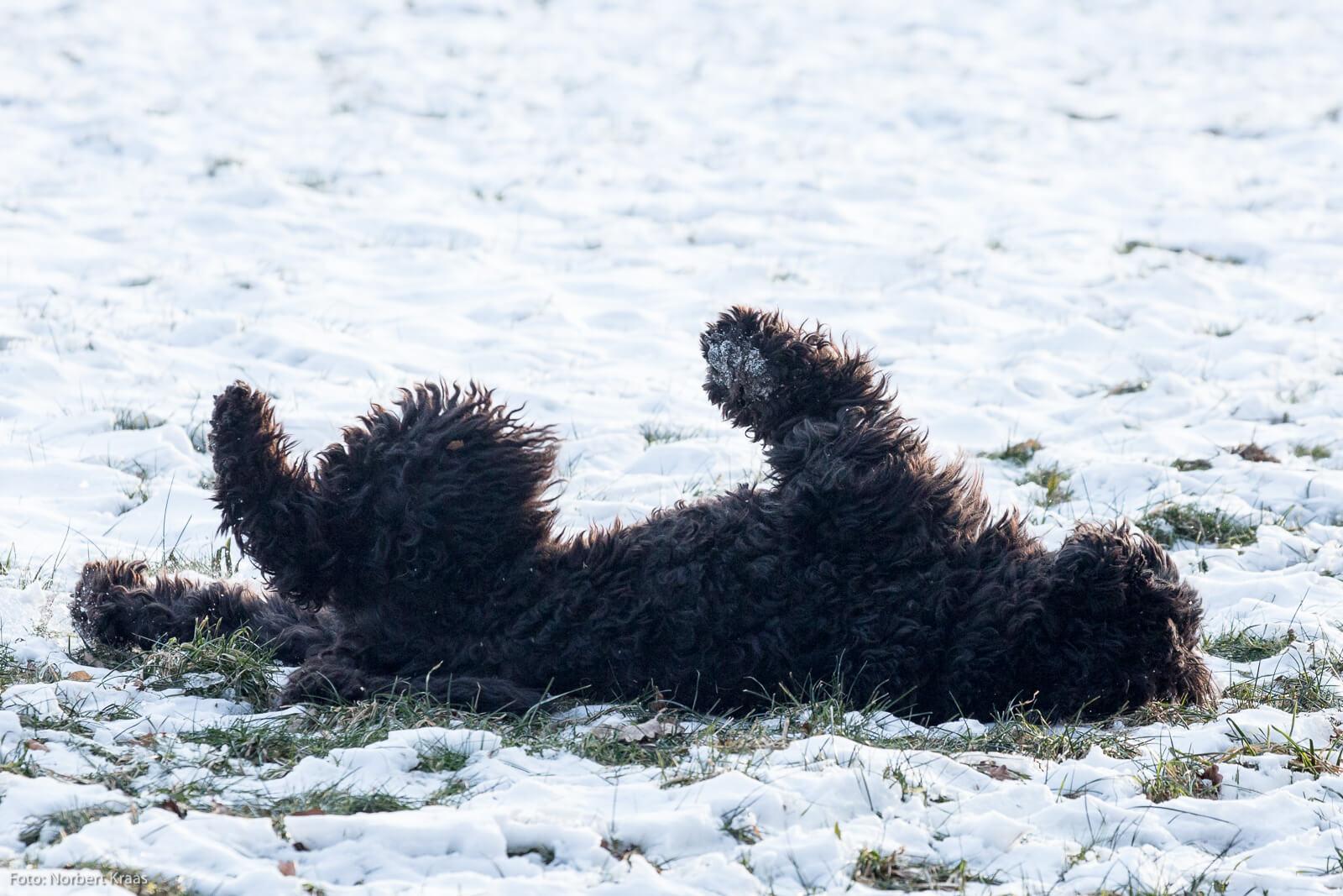 Ein Bad im Schnee als Haarpflege im Winter? Dem Hund gefällt's.