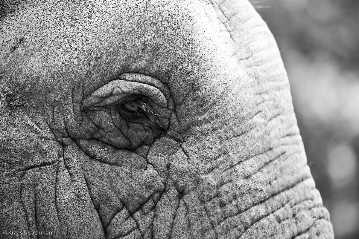 Die Runzeln in seiner Haut speichern Wasser und Schlamm und schützen den Elefanten vor Hitze und Parasiten