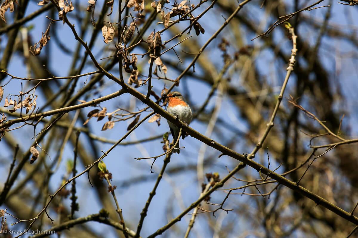 In den letzten Wochen konnte man wunderbar den Vögeln beim Zwitschern zuhören: hier ein Rotkehlchen (Erithacus rubecula)