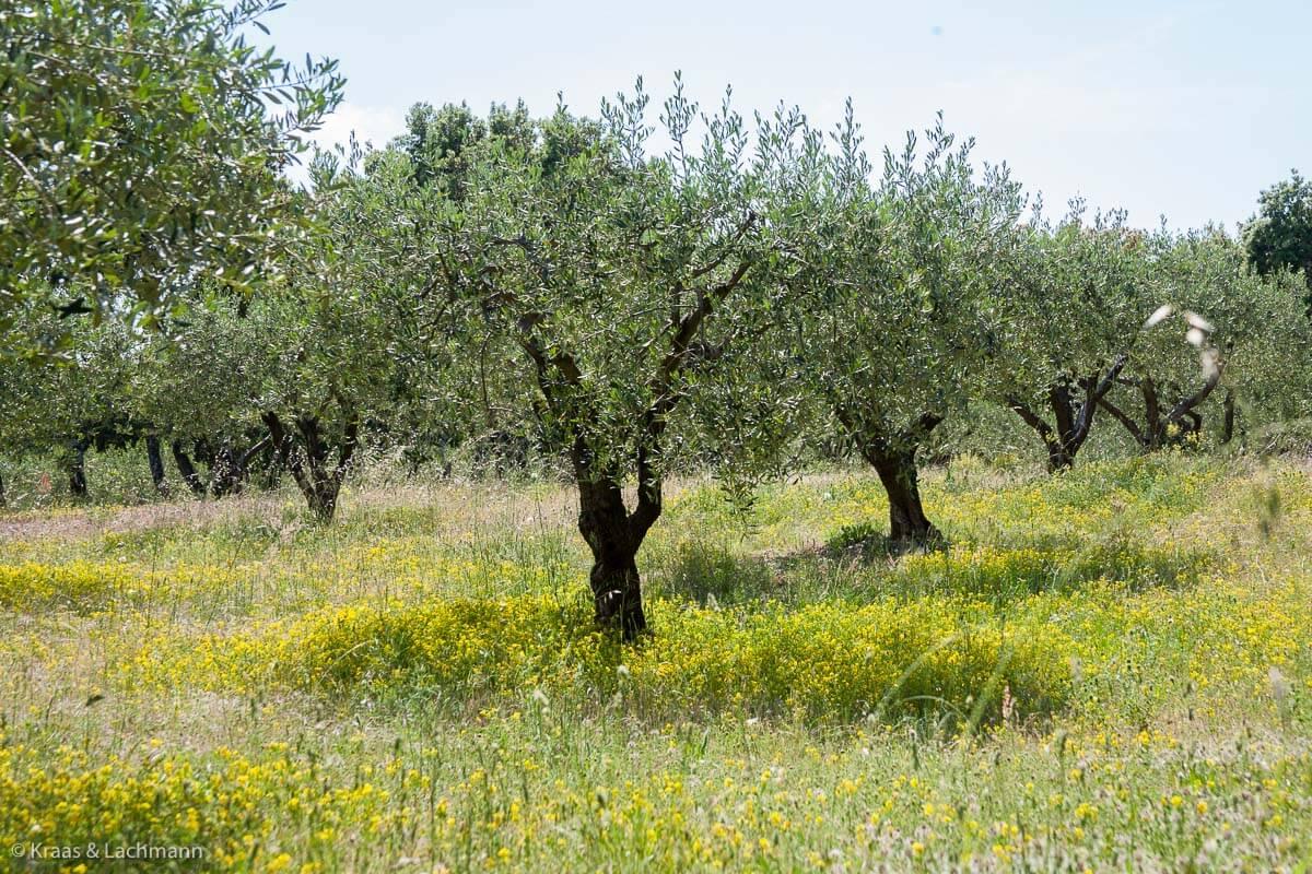 Die Natur liefert uns Öle, die trockene Haut wieder geschmeidig machen: der Olivenbaum wird auch als Ölbaum bezeichnet