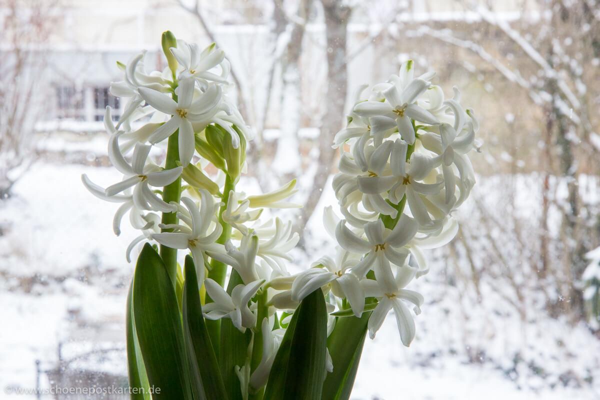 Hyazinthen bringen mit ihrem zauberhaften Duft den Frühling ins Zimmer, auch wenn's draußen noch schneit