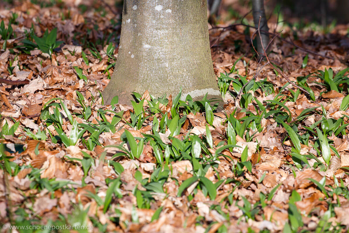 Duftet stark: Bärlauch (Allium ursinum)