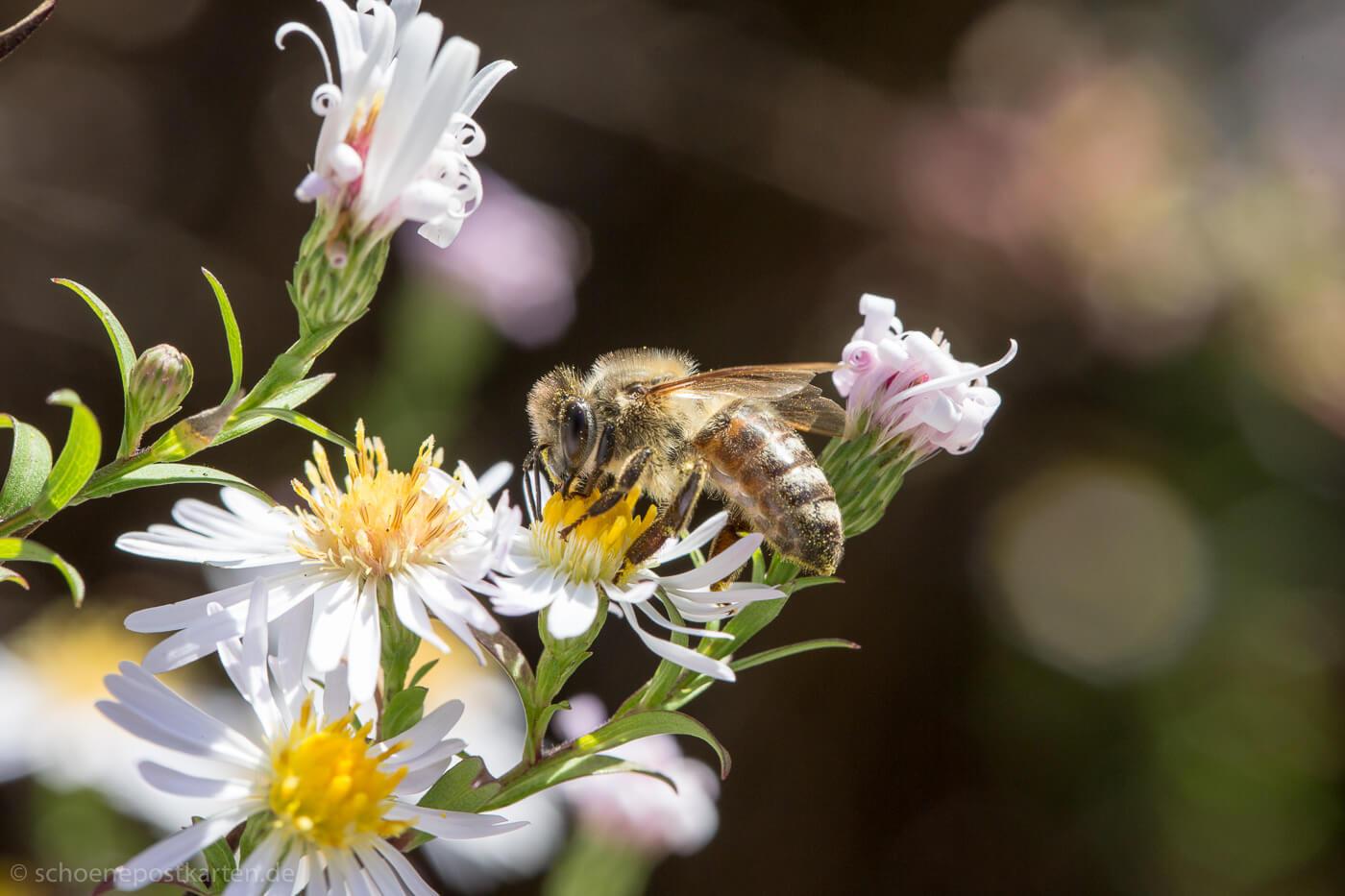 Laut NABU sind bei den Wildbienen bereits jetzt über die Hälfte der Arten in ihrem Bestand gefährdet