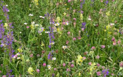 Artenvielfalt dank Blumenwiese